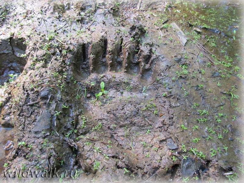 След медведя в Ленобласти. Слева - след от сапога.